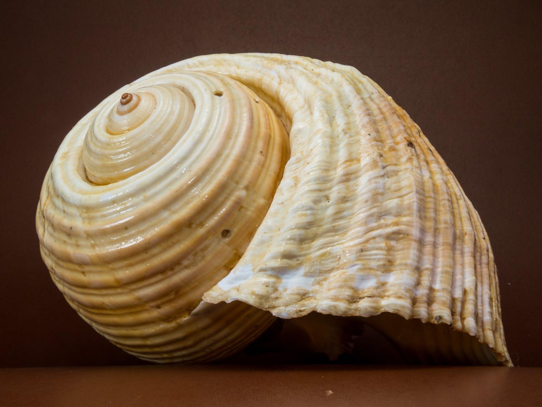 beige seashell
